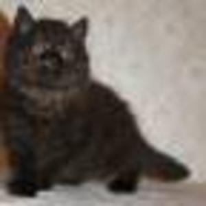 Продается шотландская длинношерстная кошечка (хайленд-страйт)