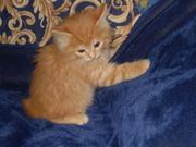 Продаются отличные котята породы курильский бобтейл.