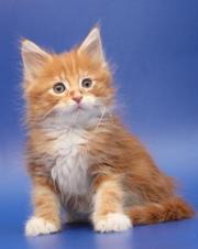 Эксклюзив! Диковинка! Черепаховый кот! огромная редкость.