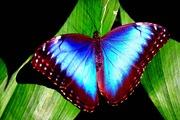 Продажа Живых тропических бабочек из Южной Америки  более 30 Видов